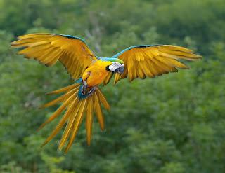 Brazilian Spix's Macaw