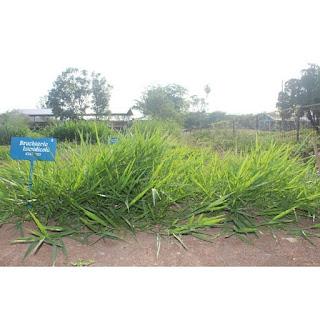 Rumput Brachiaria mutica