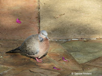 Spotted Dove with spotted neck – Fort DeRussy Park, Oahu – © Denise Motard