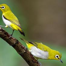 Merawat Bulu Burung Pleci Dengan Buah Dan Sayuran