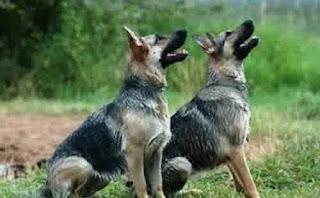 Anjing | Hewan yang Dipercaya Bisa Melihat Hantu