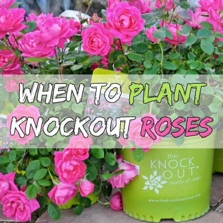 How To Plant Knockout Roses Grow Your Own Garden