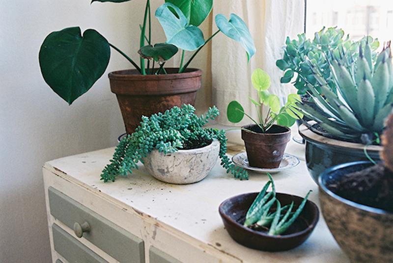 Green mon pilea peperomioide yellow cat Meuble plante