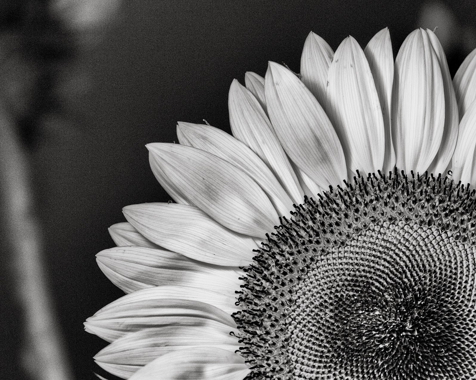 The World In Black White Sunflower