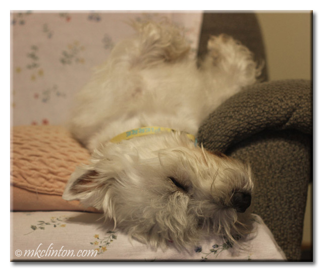 Pierre Westie upside down asleep on couch