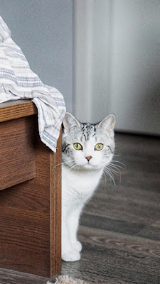 A grey and white cat peers out from around the end of a bed