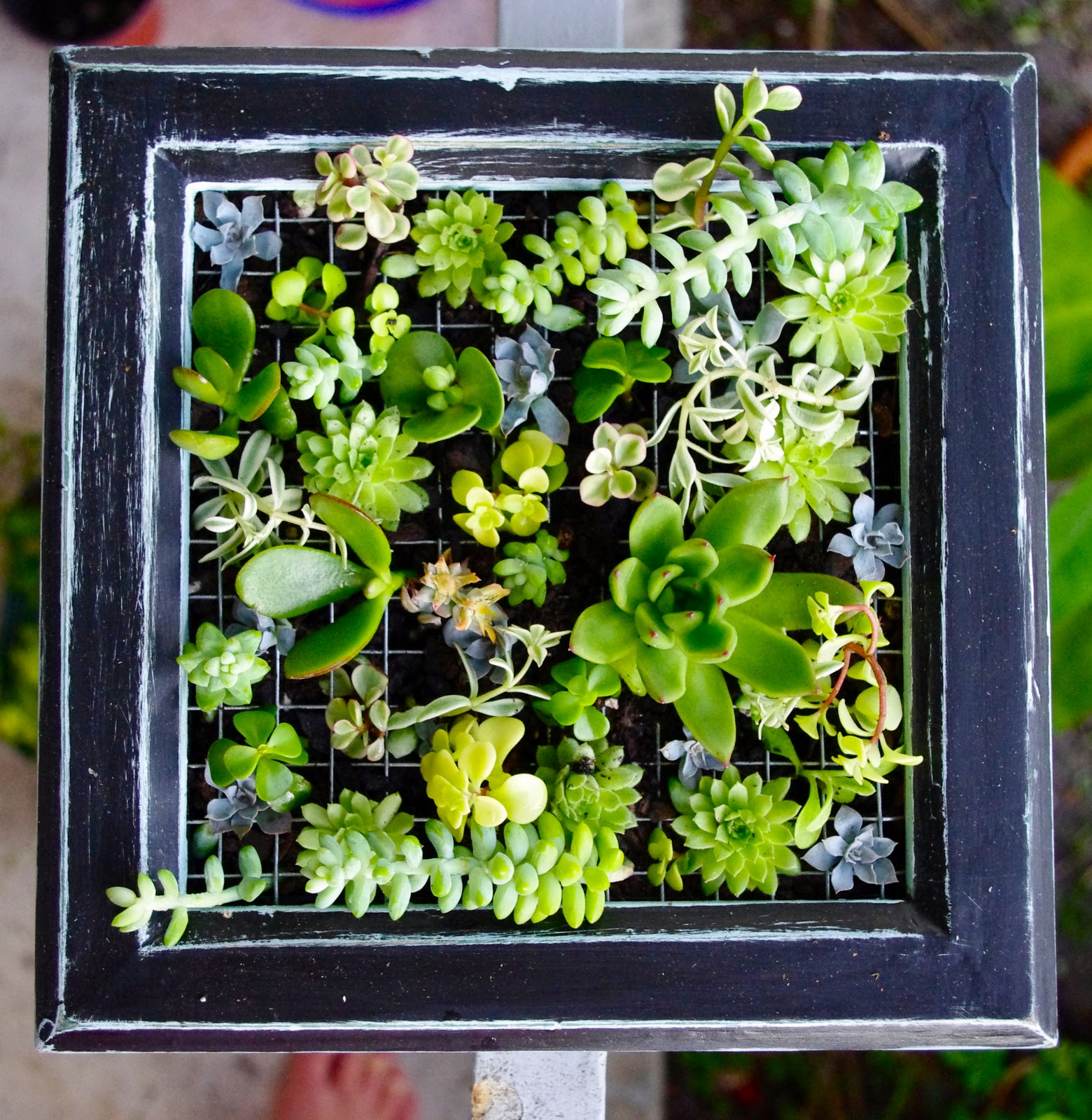 turquoise violets: DIY: succulent wall garden