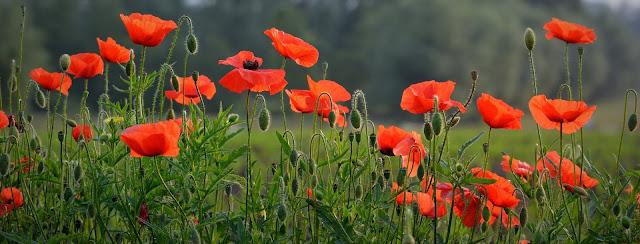 https://www.impressivepic.com/2020/03/poppy-flower-image-and-wallpaper.html