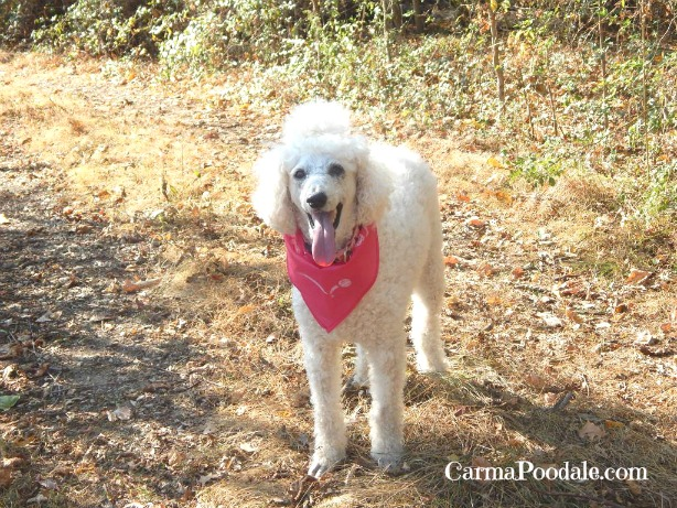 White Standard poodle in pink scarf on a wooded path