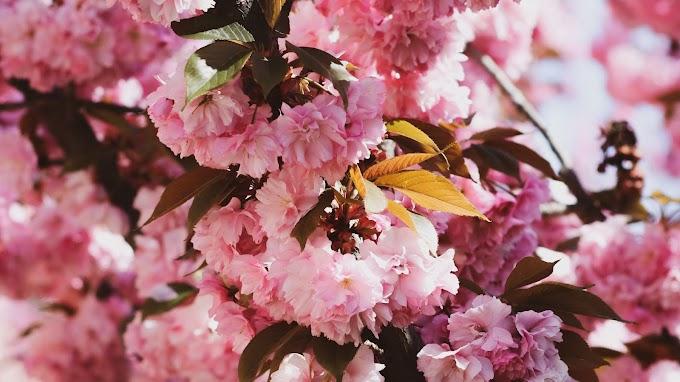 Papel De Parede Ramo De Flores Sakura