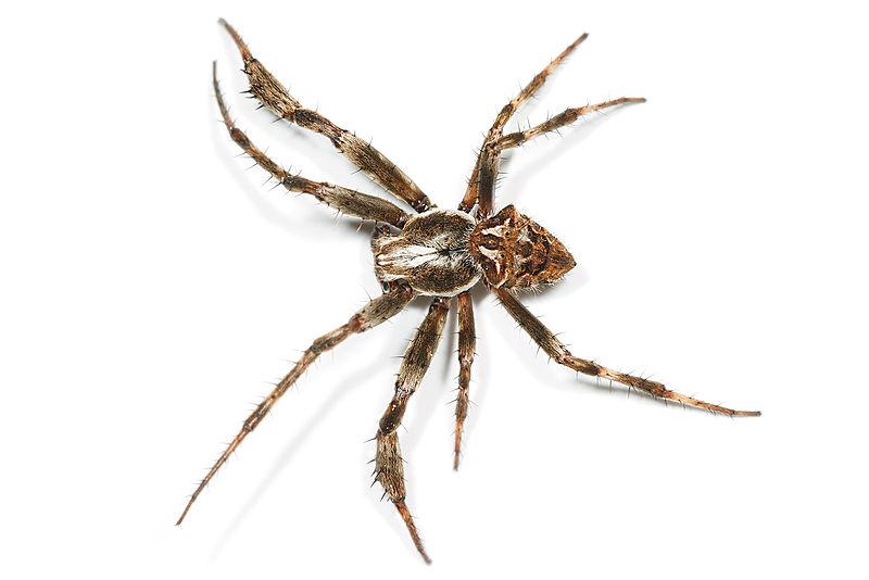 Arachnids: Araneus heroine