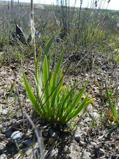 Tofieldie glutineuse - Triantha glutinosa