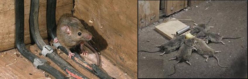 Žiurkės ir melagiai