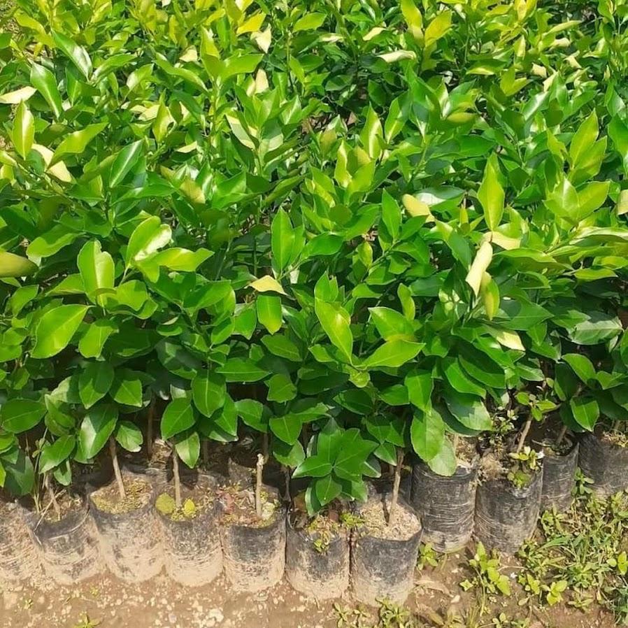 bibit lemon jumbo California okulasi bisa di tabulampot kan Bangka Belitung