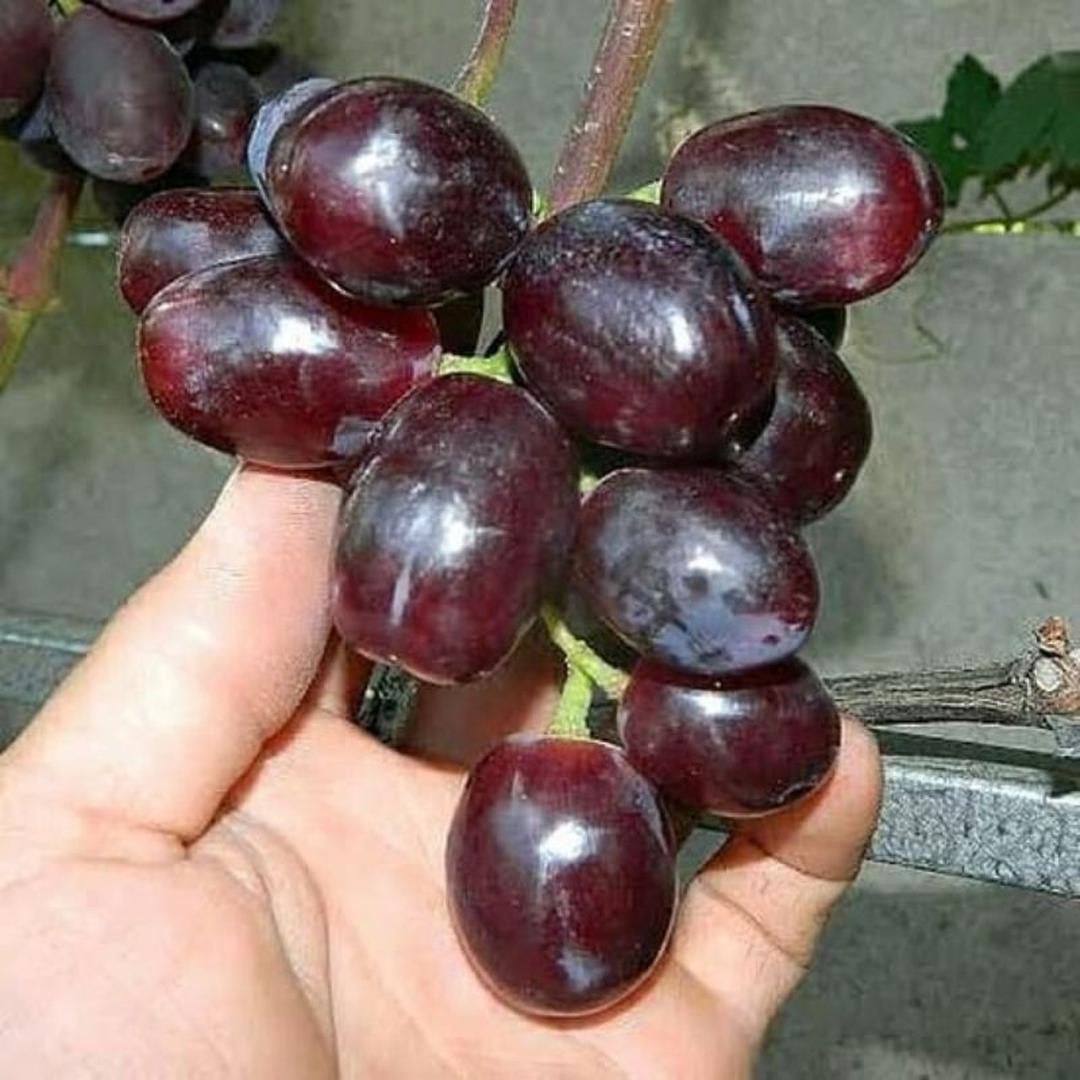 Ready! Bibit Tanaman Buah anggur import everest unggul Kota Kediri #bibit buah genjah