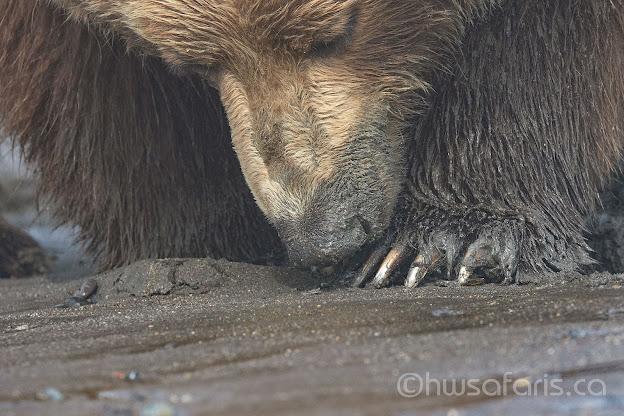 Brown Bear Clamming