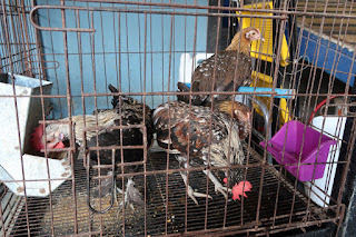 Small breed chickens for sale in Puriscal.