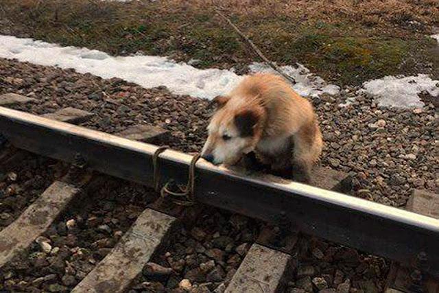 Хозяин привязал собаку к рельсам и спокойно ушел!