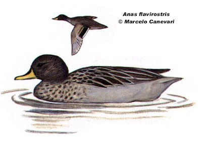 Pato barcino Anas flavirostris