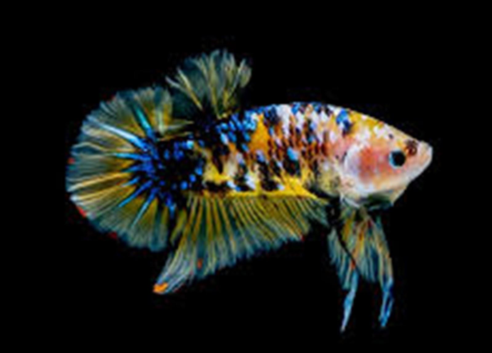 Harga Ikan Cupang di Yogyakarta