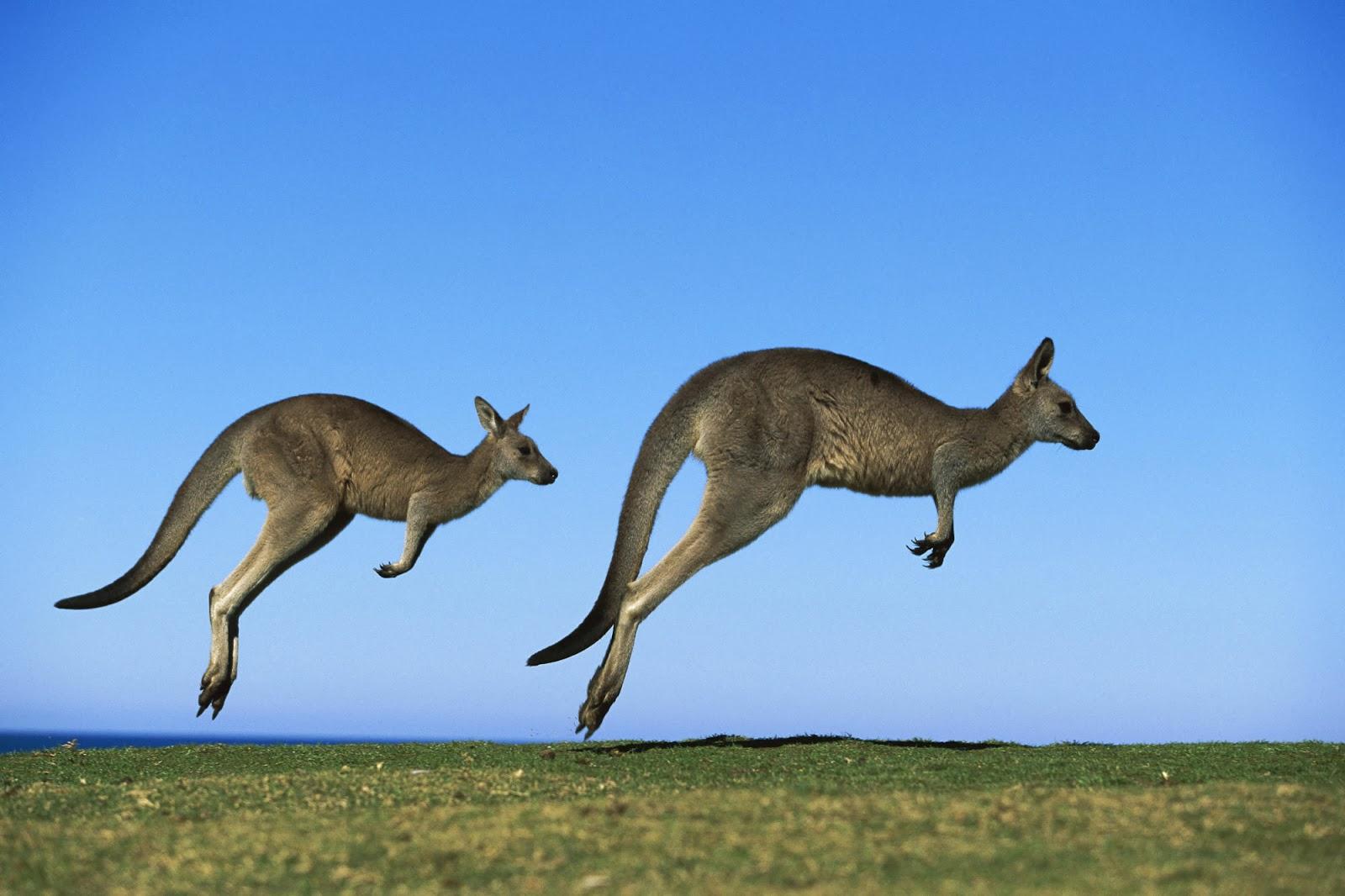 Achtergrond met twee springende kangoeroe's