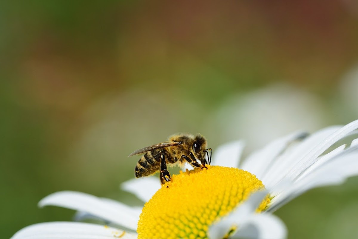 Download Wallpaper bees in search of food on flower petals, produce quality honey
