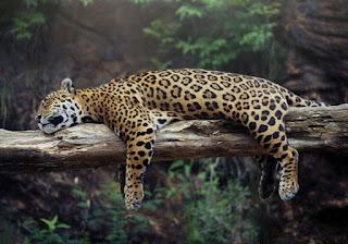 leopardo durmiendo en la rama del arbol