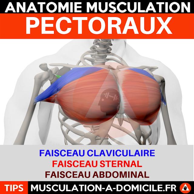 musculation à domicile anatomie des muscles pectoraux