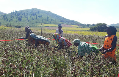 Finger Millet Cultivation