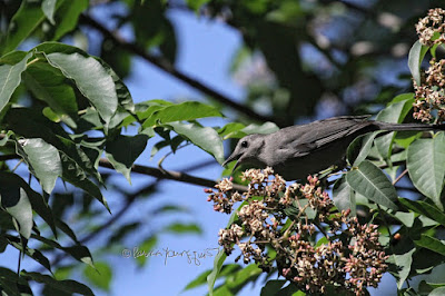 A catbird in a tree in Central Park. View One.