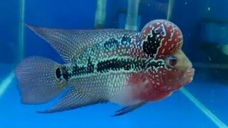 ikan louhan super red dragon