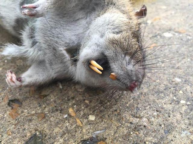 Tikus Super Raksasa Baru Saja Ditemukan