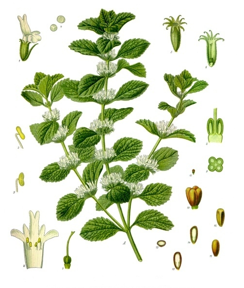 Horehound illustration