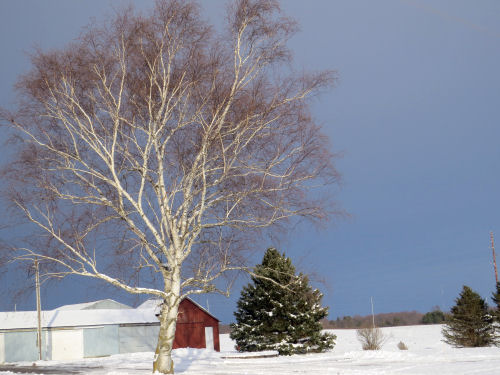 red barn with white birch