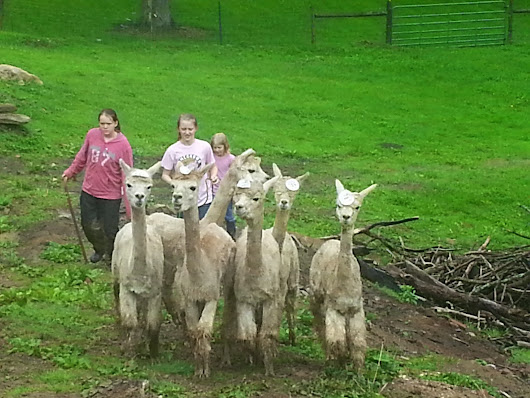 Welcome our new 6 female alpacas