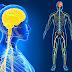 İnsan Vücudunda Kaç Sinir Var?