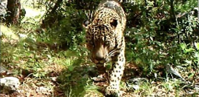 jaguar-stis-hpa-video