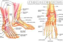 Anatomi Ankle atau Pergelangan Kaki Manusia Dan Biomekanik Ankle