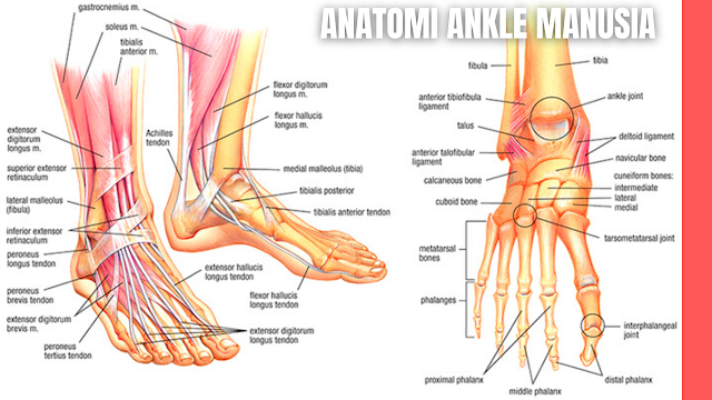 Anatomi Ankle atau Pergelangan Kaki Manusia Dan Biomekanik Ankle Ankle dan kaki adalah struktur komplek yang terdiri dari 28 tulang dan 55 artikulasi yang dihubungkan dengan ligamen dan otot.   Ankle merupakan sendi yang menopang beban tubuh terbesar pada permukaannya, puncak beban mencapai 120% ketika berjalan dan hampir 275% ketika berlari.   Sendi dan ligamen berperan sebagai stabilitator untuk melawan gaya dan menyesuaikan ketika aktivitas menahan beban agar stabil. Berikut ini adalah anatomi dari ankle atau pergelangan kaki manusia beserta biomekanik ankle :    Anatomi Tulang Ankle atau Pergelangan Kaki Bagian distal dari tulang tibia dan fibula berartikulasi dengan tulang tarsal pada pergelangan kaki yang membentuk struktur kaki. Yang termasuk tulang tarsal adalah calcaneus, talus, navicular, cuneiform 1, cuneiform 2, cuneiform 3 dan cuboid, hampir sama dengan tulang carpal pada tangan.   Dikarenakan menumpu beban yang besar maka bentuk dan ukurannya lebih luas. Kaki memiliki persendian yang kompleks dengan 7 tulang tarsal, 5 tulang meta tarsal dan 14 tulang phalang yang menopang beban tubuh ketika berdiri, berjalan dan berlari.    Anatomi Otot Ankle atau Pergelangan Kaki Sendi ankle terbentuk dari struktur yang kompleks seperti tulang, ligamen dan otot. Struktur tersebut yang memungkinkan sendi ankle menjadi fleksibel dan mudah beradaptasi dengan lingkungan.   Fleksibilitas ini dibutuhkan karena kaki beresentuhan langsung dengan tanah dan harus dapat beradaptasi ketika berubah posisi. Fungsi otot sangat berpengaruh terhadap fleksibilitas tersebut. Otot pada kaki dibedakan menjadi empat bagian yang diantaranya adalah sebagai berikut :  Otot Ankle Bagian Anterior Otot bagian anterior adalah m. tibialis anterior, m. peroneus tertius, m. extensor digitorum longus, m. extensor hallucis longus yang berfungsi untuk gerakan dorsi fleksi.  Otot Ankle Bagian Posterior Otot bagian posterior adalah m. gastrocnemius, m. soleus, m. plantaris, m. flexor digitorum longus, m.