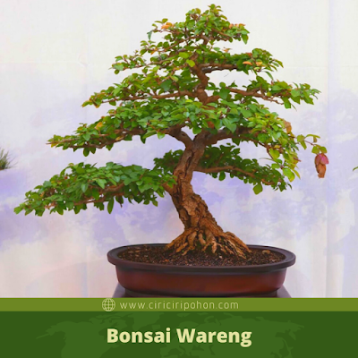 Bonsai Wareng
