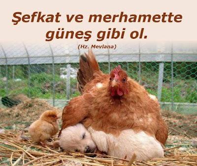 tavuk, şefkat, merhamet, güneş, hz mevlana, özlü sözler, civciv, enik,