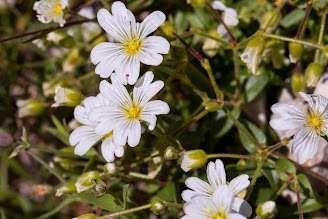 [Caryophyllaceae] Cerastium latifolium – Broad Leaved Mouse Ear (Peverina latifoglia)