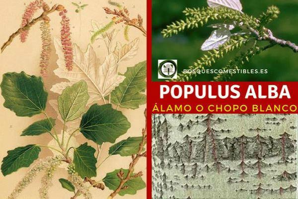 Populus alba, álamo o chopo blanco, árbol de tronco robusto, derecho con corteza blanquecina