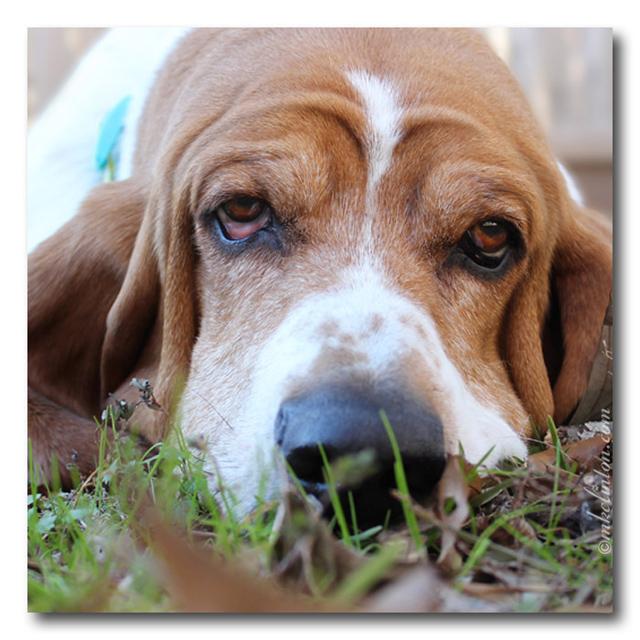 Basset Hound close-up.