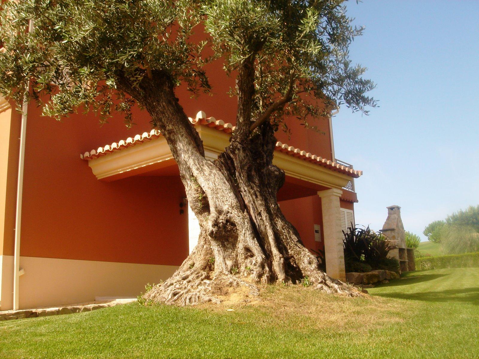 A Oliveira é Uma árvore Perene, Frutífera E Ornamental, Originária Da  Região Do Mediterrâneo. Dela Obtemos As Azeitonas E O Precioso Azeite, ...