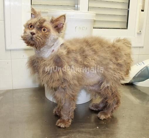 Precio cortar el pelo a un gato