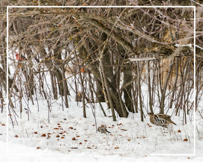 Ruffed Grouse feeding in the old orchard.  © Shelley Banks, 2016. All Rights Reserved.