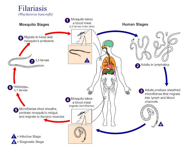Kaki gajah, filaria, filariasis, nyamuk anopheles, anopheles, mikrofilaria, tahap infektif, tahap diagnosis, diagnosa, praktikum, parasitologi, kedokteran, laboratorium, proboscis,proboskis, larva, larvae