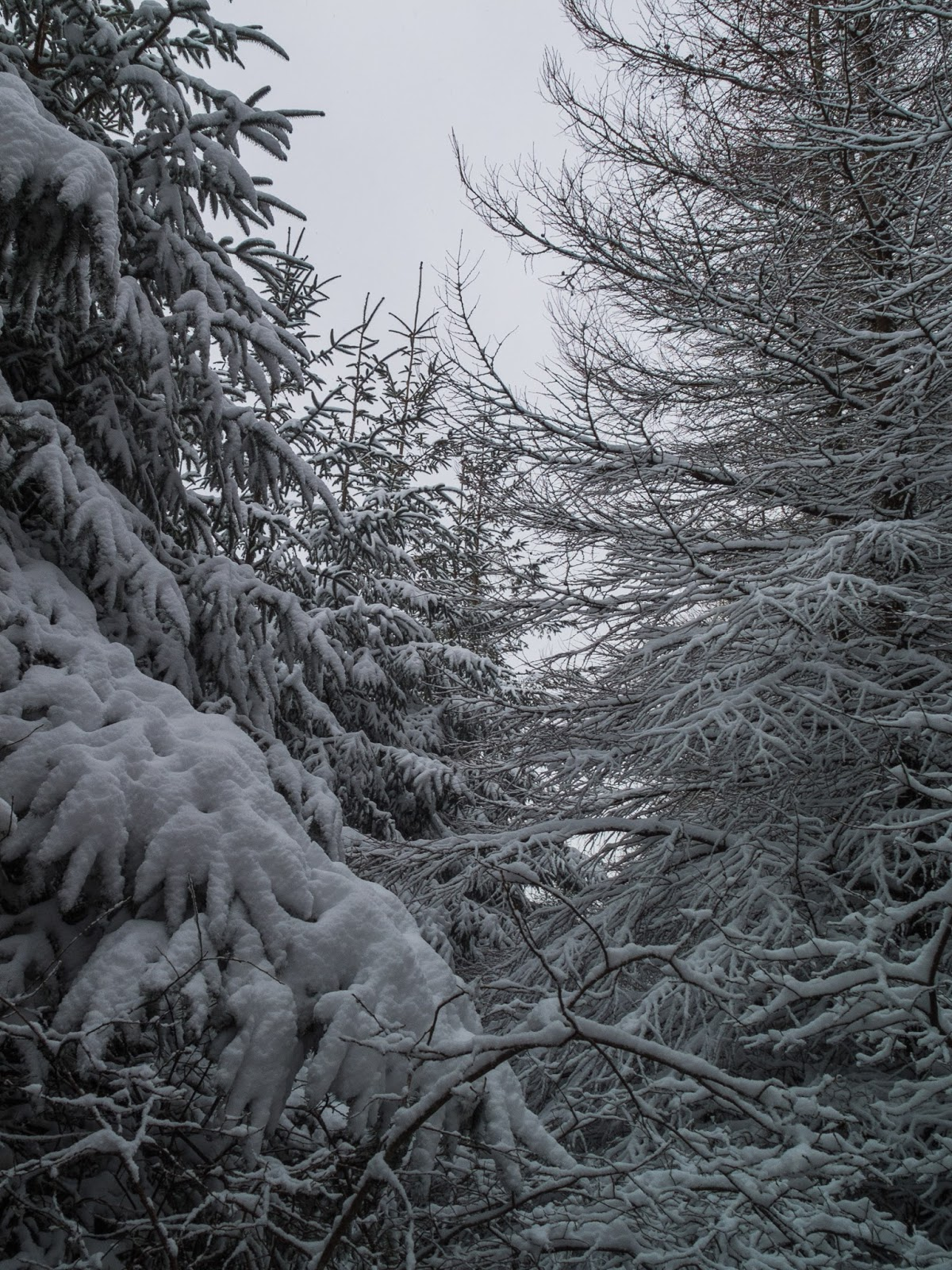 Snow covered pine trees inside a forest in North Cork.