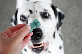 Dalmatian dog smiling and looking at a bone shaped dog treat